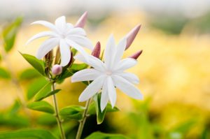 jasmine flower used in Holos Blossoms Facial Exfoliant