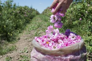Rosa Damascena from Kazanlak Valley in Bulgaria used in Holos cosmetics