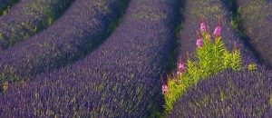 Lavender field - natural ingredient in Holos products