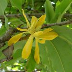 Ylang Ylang used in Holos Blossoms Facial Polish