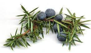 Juniper berries used in This is More range by Holos which has detoxing properties, treat eczema and psoriasis